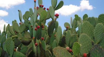 Nopal Cactus Can Knock Weight Off The Body