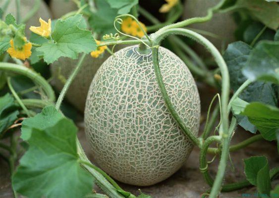 Cantaloupes14