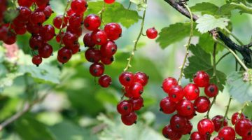 Eating Red Currants Will Leave Your Body Riddled With These Health Benefits