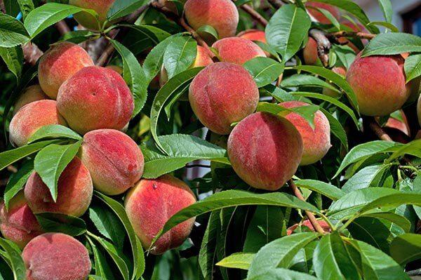Pfirsich - Malum Persicum