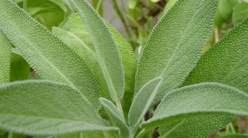 Women Going Through Menopause Should Consume Sage