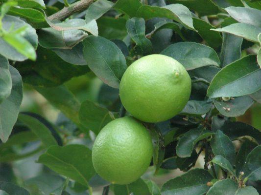 Key limes2