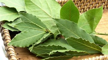 Bay Leaves Lower Glucose Levels In Type 2 Diabetes Patients