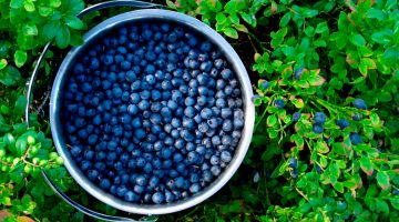 7 Untold Health Benefits About Blueberries That May Save Your Life