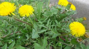 Consuming Dandelion Greens Can Possibly Be The Key To Healing Liver Disease