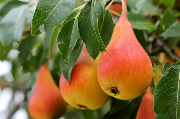 pears5