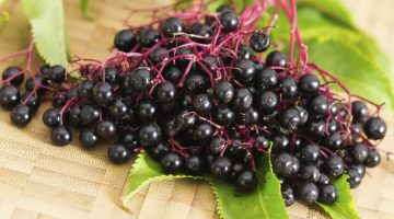 Eating Elderberries Can Protect The Cells From Diseases, According To Studies