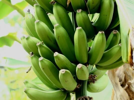 Green Bananas1