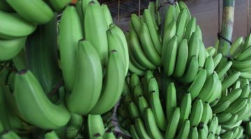 12 Amazing Health Benefits About Green Bananas That You May Not Know
