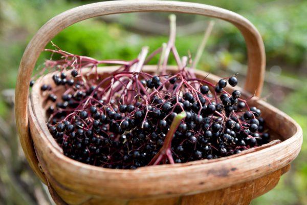 elderberries1