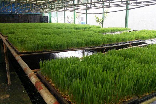 wheatgrass8