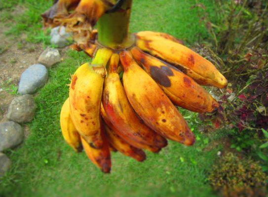 burro-bananas1