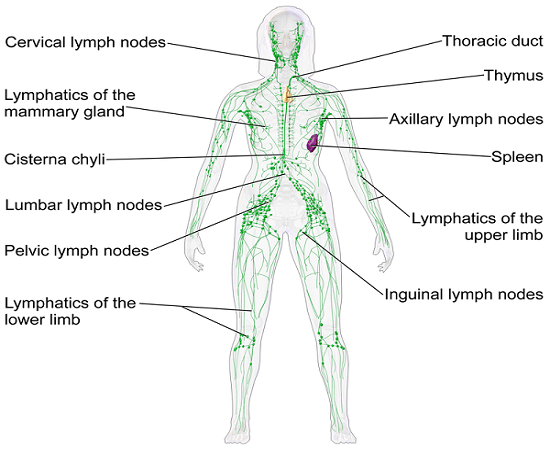 8 Alkaline Foods That May Save Your Life By Keeping Your Lymphatic ...